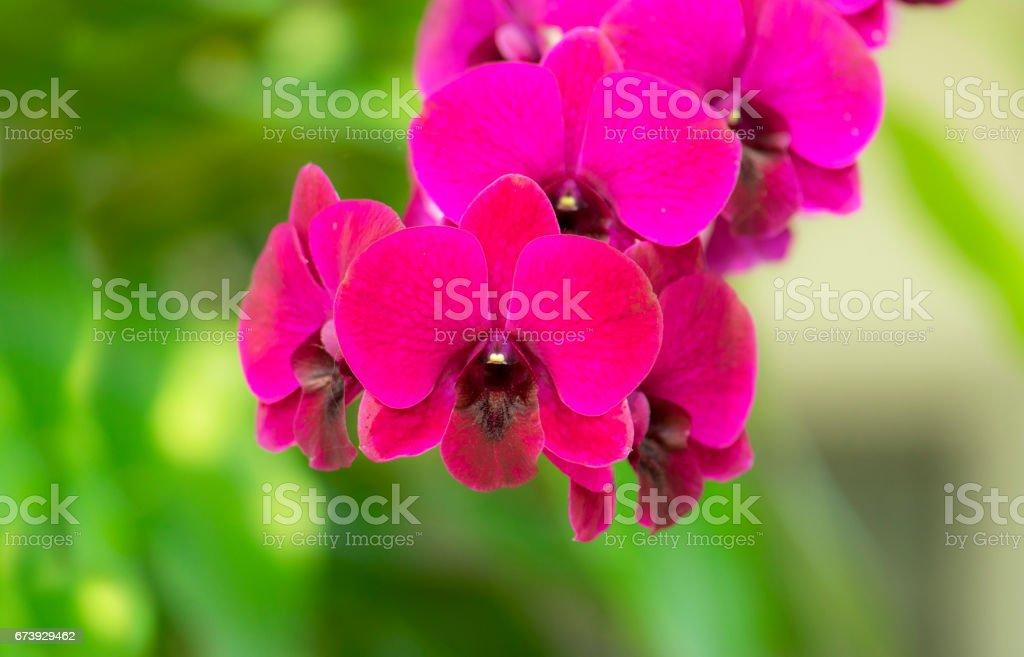 Belles fleurs d'orchidée pourpre dans le jardin photo libre de droits