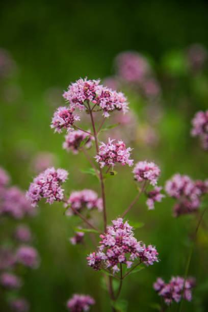 Beautiful purple oregano flowers blooming in the meadow. stock photo