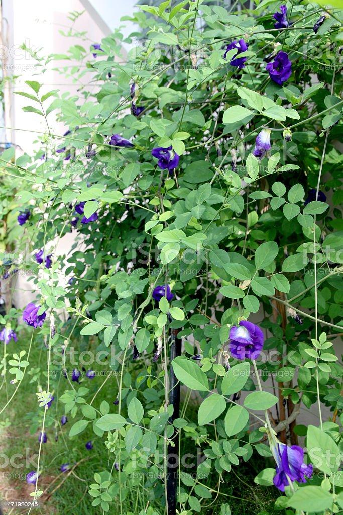 Beautiful purple pea flowers in the backyard. royalty-free stock photo