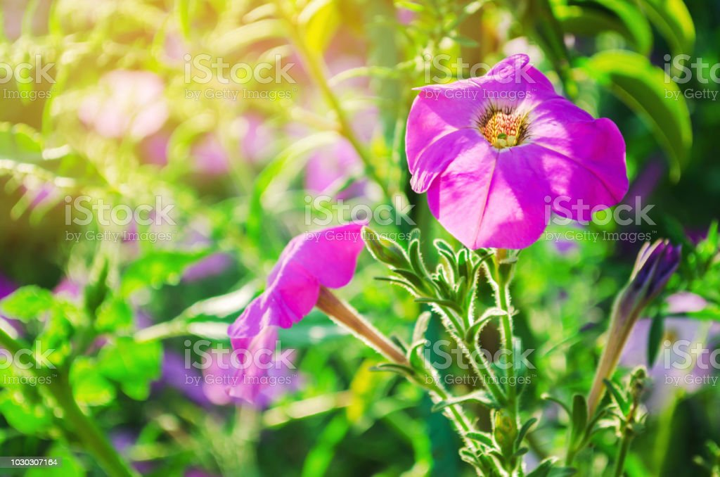 Beautiful Purple Petunias Grow In The Garden On A Sunny Day Beautiful Flowers Natural Wallpaper Background Stock Photo Download Image Now Istock