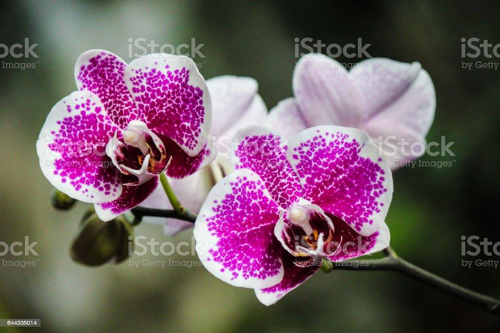 Roxo linda Phalaenopsis Orquídea - foto de acervo