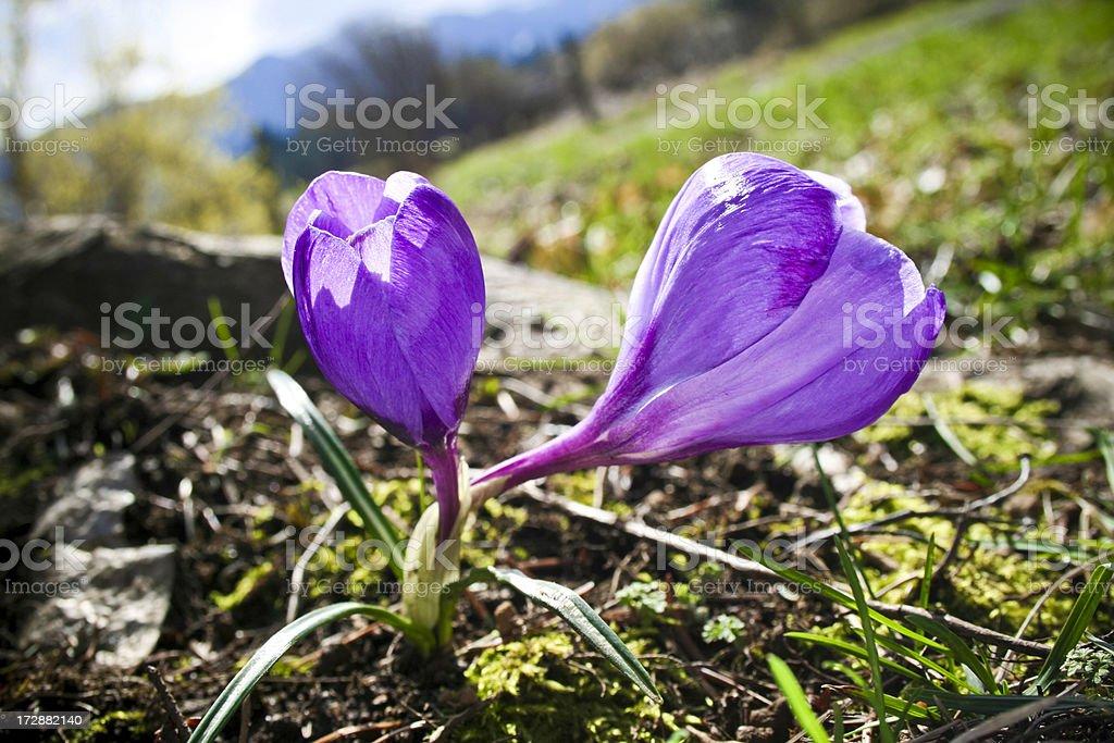 Beautiful Purple royalty-free stock photo