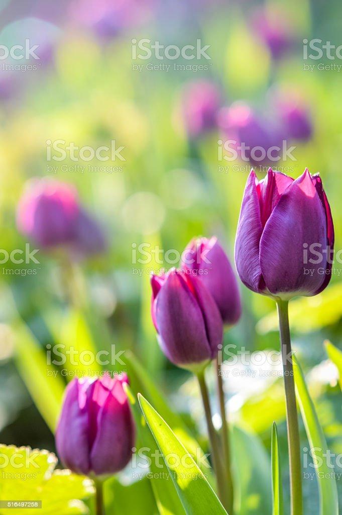 beautiful purple pink tulip flowers stock photo