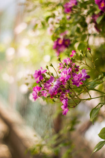 Beautiful purple rose and rose buds on a branch with blurred background. stock photo