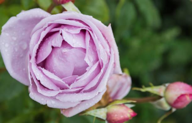 beautiful purple rose in the garden with rain drops, selective focus - gradients golden ribbons imagens e fotografias de stock