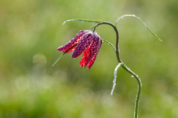 schöne lila schlange kopf blume - seltene pflanzen stock-fotos und bilder