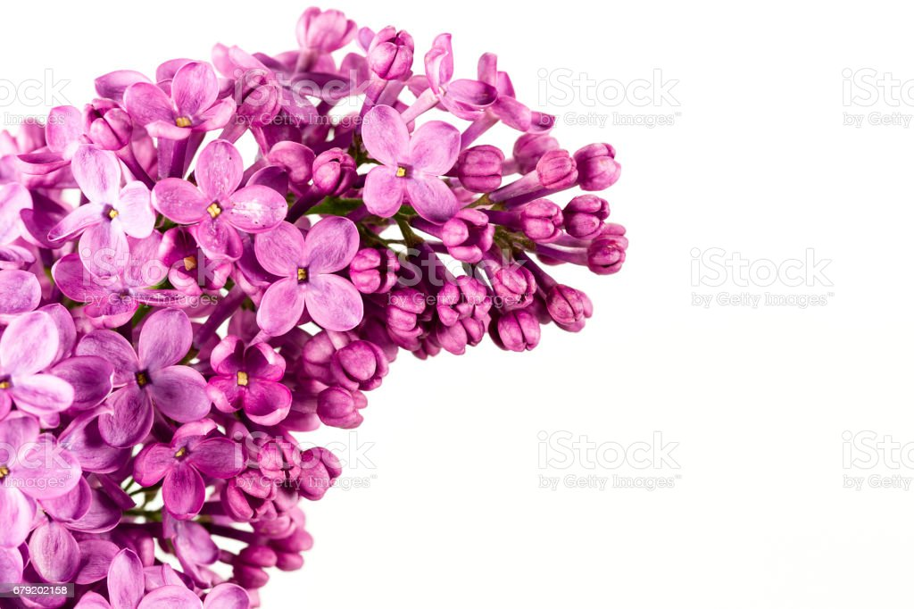 beautiful purple syringa lilac blossoms isolated on white background with copy space for greeting message foto de stock royalty-free