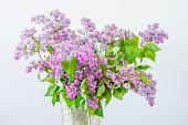 Beautiful purple Syringa vulgaris flowers.