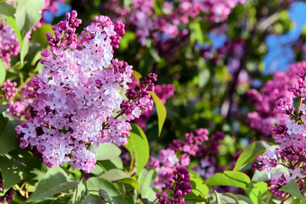 Beautiful purple Syringa Vulgaris (Lilac or Common Lilac) in bloom at a Patagonian garden. stock photo
