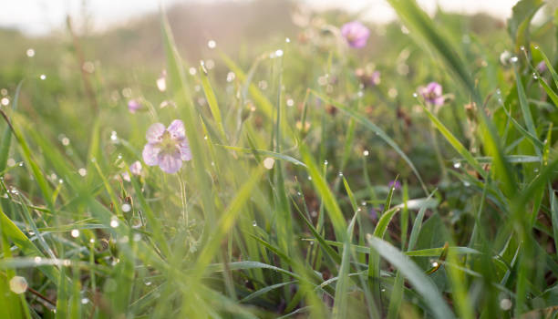 Beautiful purple tender wildflowers and grass with dew in the morning stock photo