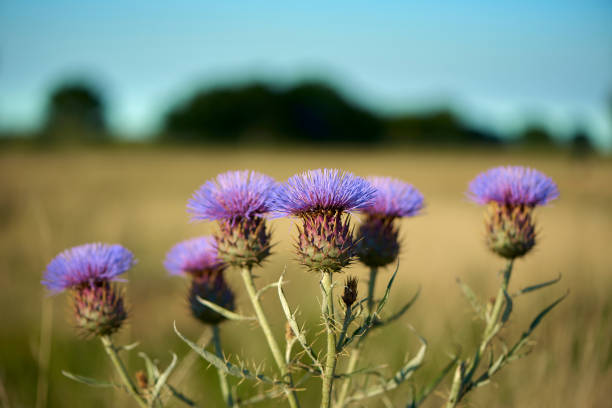 Beautiful purple Thistle in bloom at the Pampas Plain, Buenos Aires Province, Argentina. stock photo