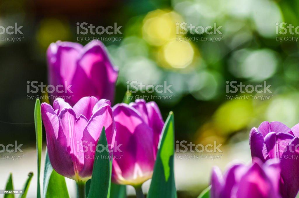 Beautiful purple tulips backlit in spring light stock photo