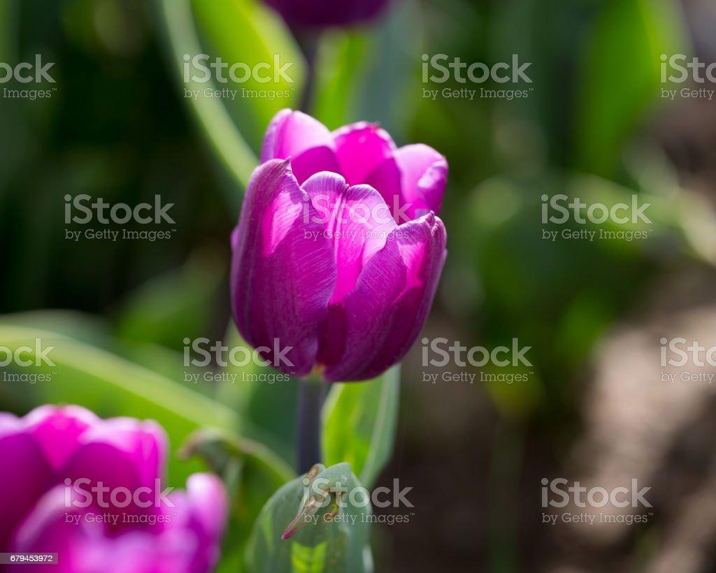 Beautiful purple tulips in nature royalty-free stock photo