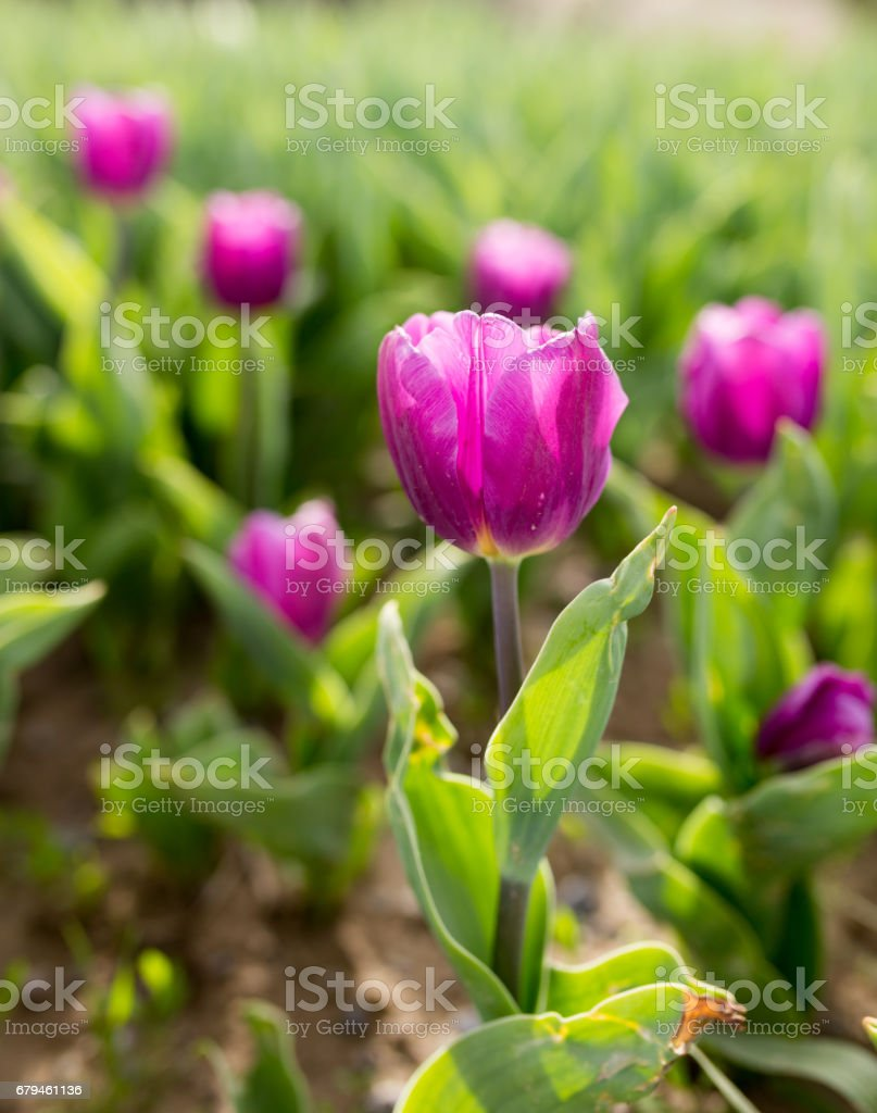 Beautiful purple tulips in nature royalty-free stock photo
