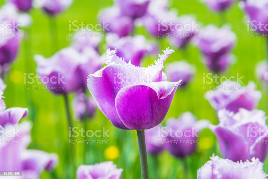 Beautiful purple tulips on the field, close-up - spring background, floral pattern - Royalty-free Agricultural Field Stock Photo