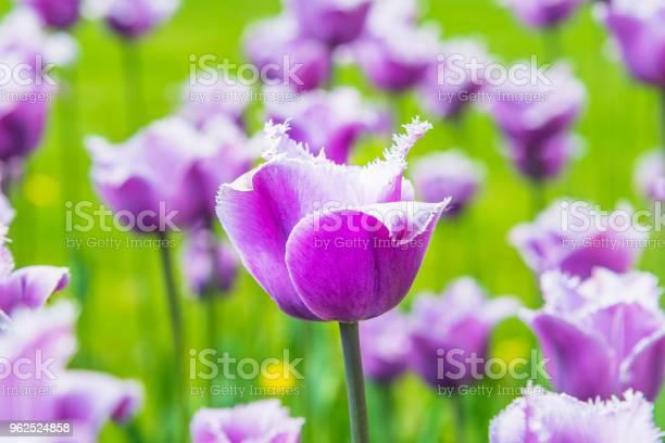 Foto de Lindas Tulipas Roxas No Campo Closeup Primavera De Fundo Padrão Floral e mais fotos de stock de Amor
