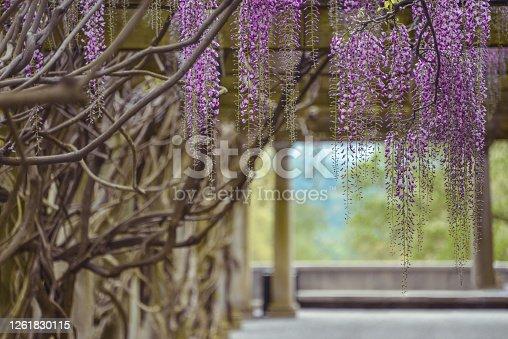 Beautiful purple vines hanging of the tree