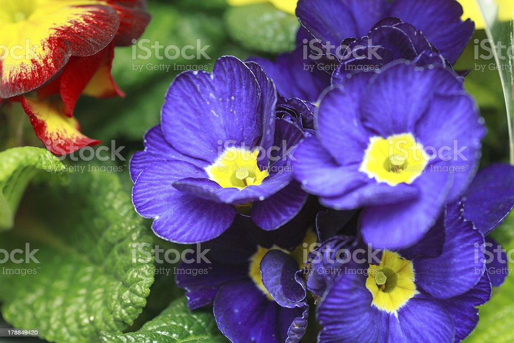 beautiful purple violet flowers royalty-free stock photo