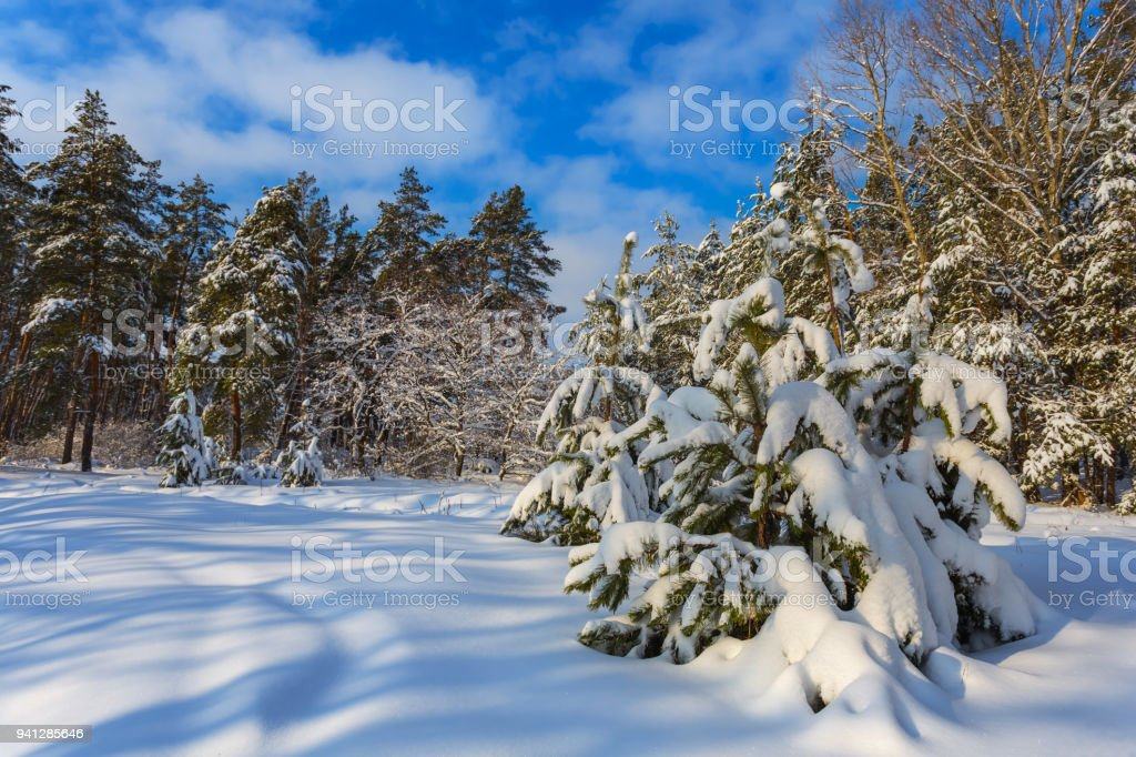 beautiful quiet  winter pine forest in a snow stock photo