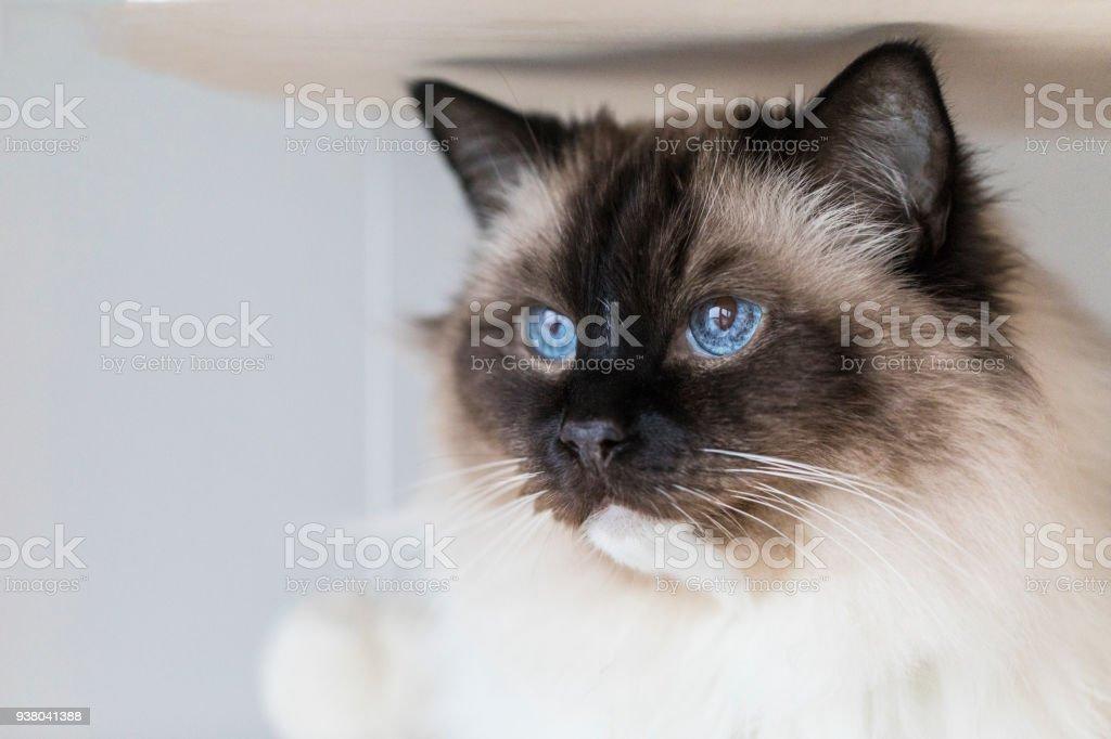 Gato ragdoll lindo - foto de acervo