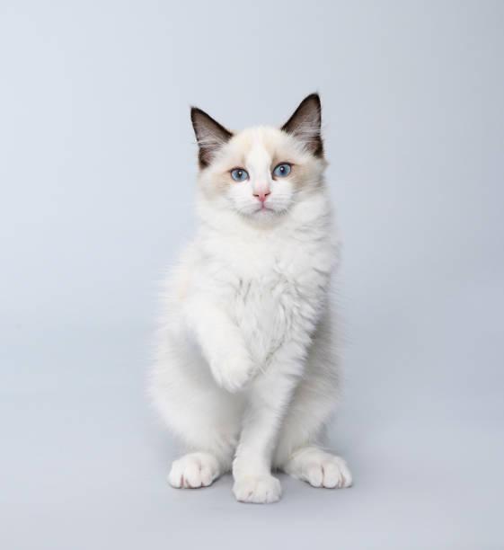 Beautiful ragdoll cat playing around picture id1181280440?b=1&k=6&m=1181280440&s=612x612&w=0&h=fcqm4ztepmtcroftemft8w4kmws 31hkfouqrlpqda4=