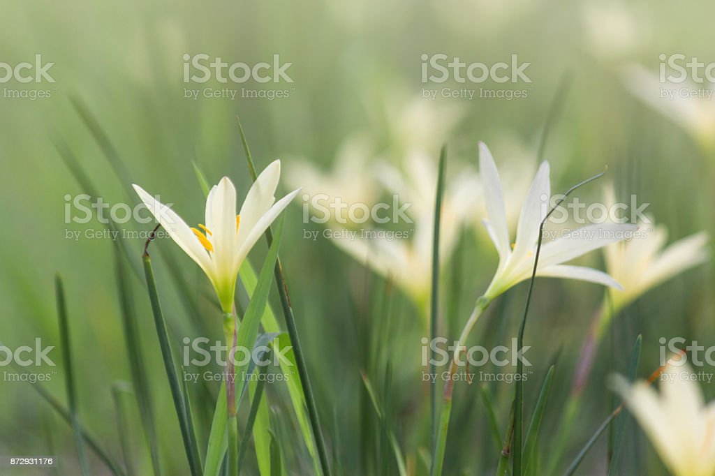 Beautiful Rain Lily Flower, Zephyranthes Lily Fairy Lily Little Witches. (Zephyranthas sp.) stock photo