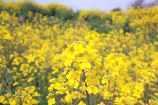 Beautiful Rape blossoms field with Bees in spring in Gunma, Japan stock photo