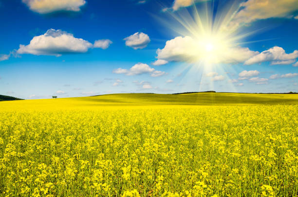 beautiful rape field beautiful rape field canola stock pictures, royalty-free photos & images