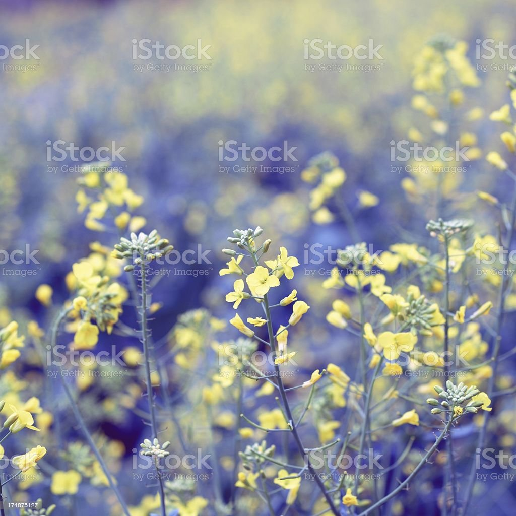 Beautiful rape flower background royalty-free stock photo