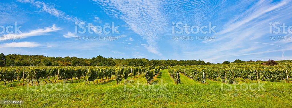 beautiful rapes in the vineyard stock photo