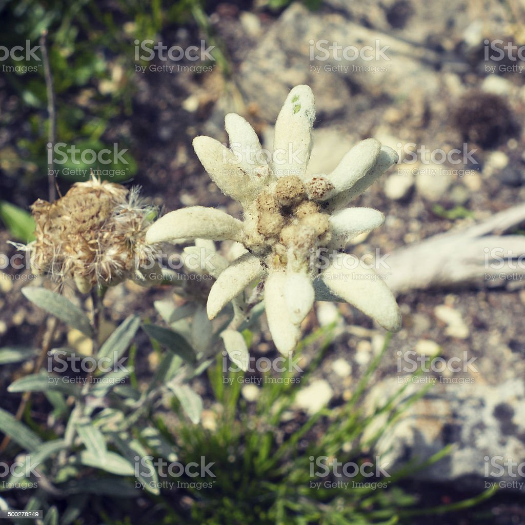 Beautiful Rare Alpine Flower Edelweiss Stock Photo More Pictures