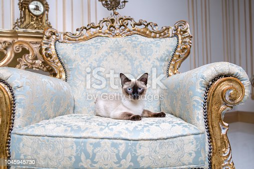 istock Beautiful rare breed of cat Mekongsky Bobtail female pet cat without tail sits interior of European architecture 1045945730