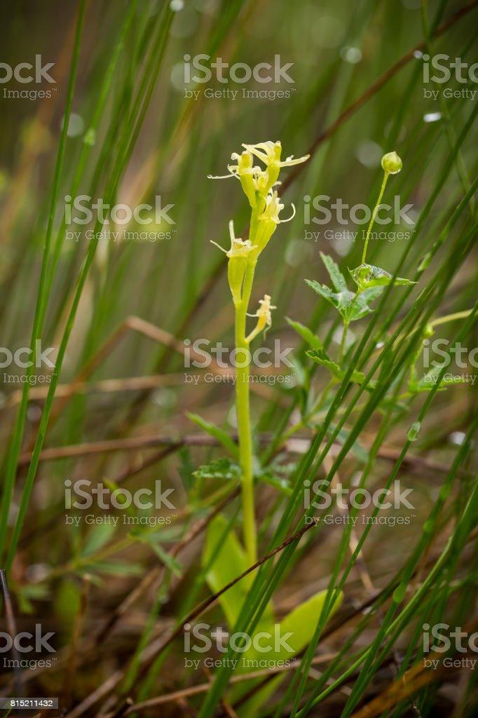 Uma orquídea linda fen raro florescimento no pântano verão. - foto de acervo