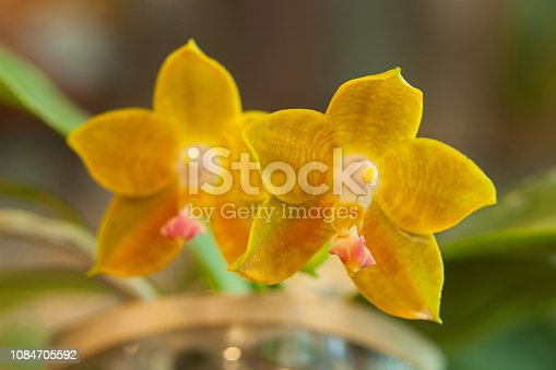 istock Beautiful rare orchid in pot on blurred background 1084705592