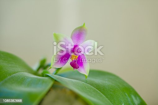 istock Beautiful rare orchid in pot on blurred background 1085382668