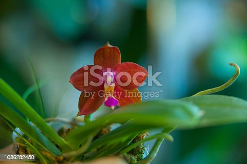istock Beautiful rare orchid in pot on blurred background 1086282450