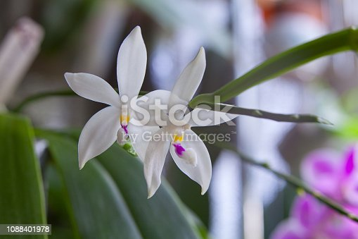 istock Beautiful rare orchid in pot on blurred background 1088401978