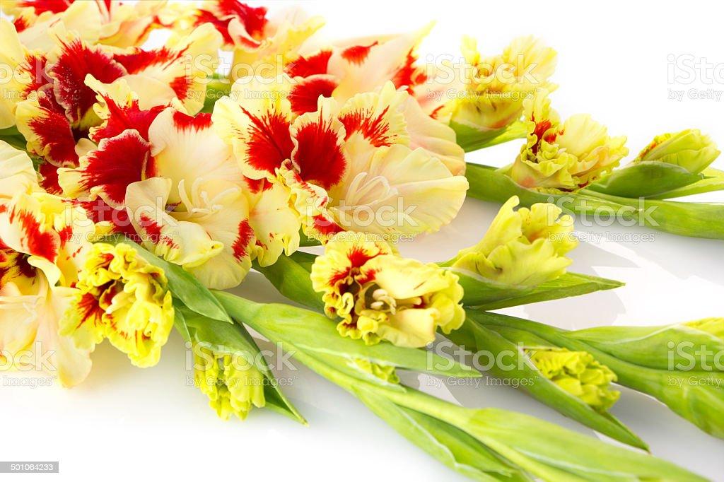 Beautiful red and white gladiolus isolated  horizontal royalty-free stock photo