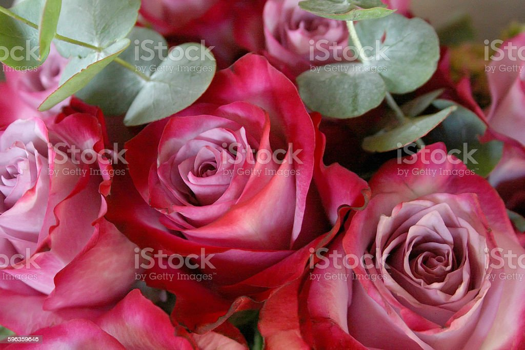 Beautiful red and white roses royalty-free stock photo