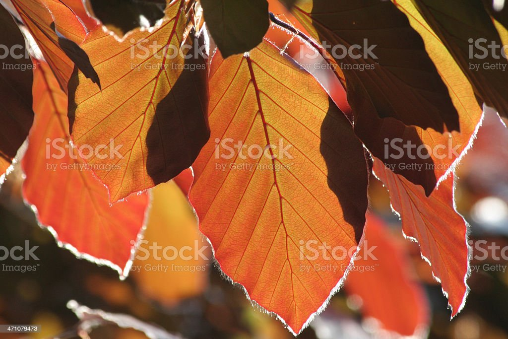 Beautiful red beech royalty-free stock photo