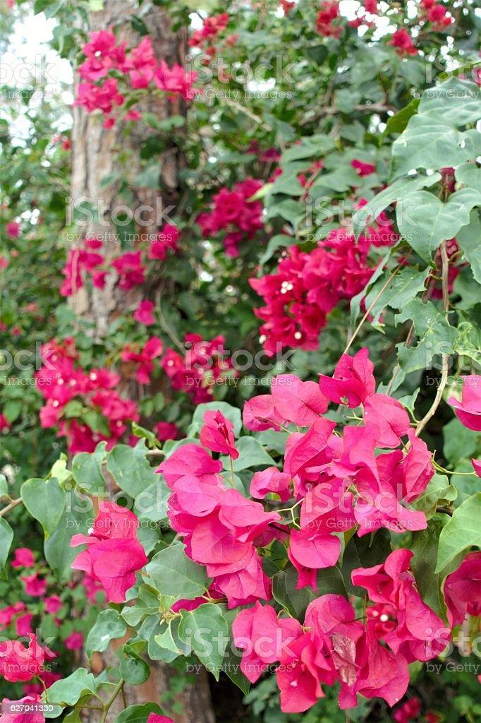 Beautiful red bougainvillea flowers surrounding pine tree stock beautiful red bougainvillea flowers surrounding pine tree royalty free stock photo mightylinksfo
