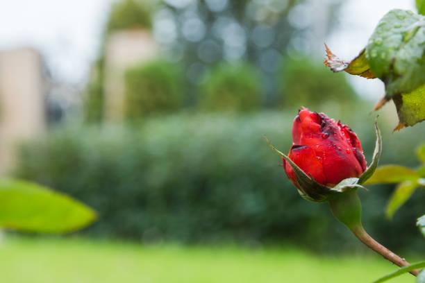 beautiful red bud rose in the garden with rain drops, selective focus - gradients golden ribbons imagens e fotografias de stock
