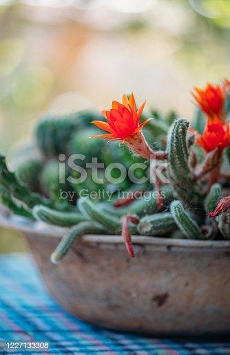 Beautiful Red Cactus Flowers