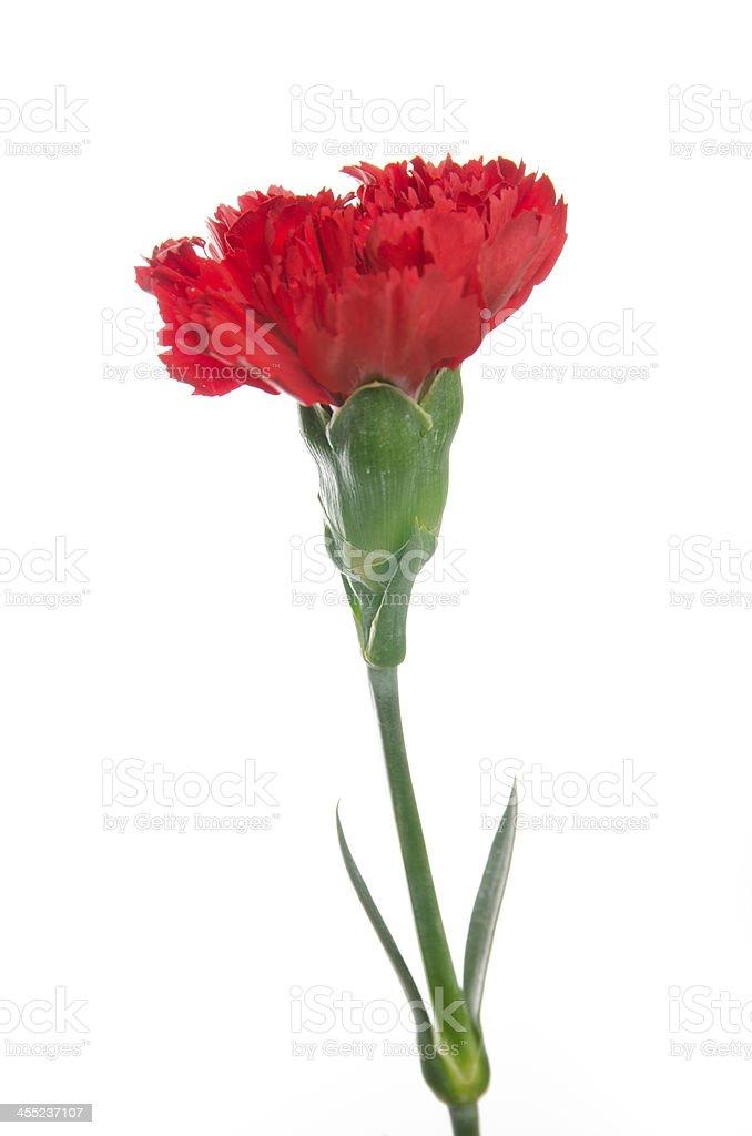 Beautiful red Carnation stock photo