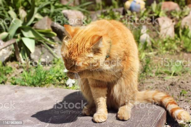 Beautiful red cat licks on the street picture id1167963669?b=1&k=6&m=1167963669&s=612x612&h=uftwd62ly1 9d44brlzxkcmxaobjikawiqar3bmt6aq=