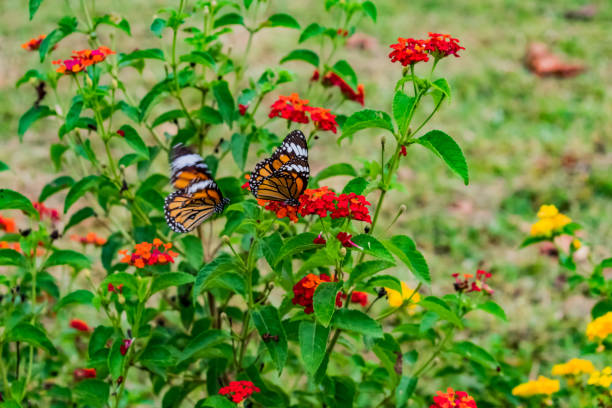 Beautiful red color blooming lantana camara on a garden with flying picture id1083699314?b=1&k=6&m=1083699314&s=612x612&w=0&h=391k3qse1obthhlo3o5cjrk azjpnffu3rvhkkjkqsw=