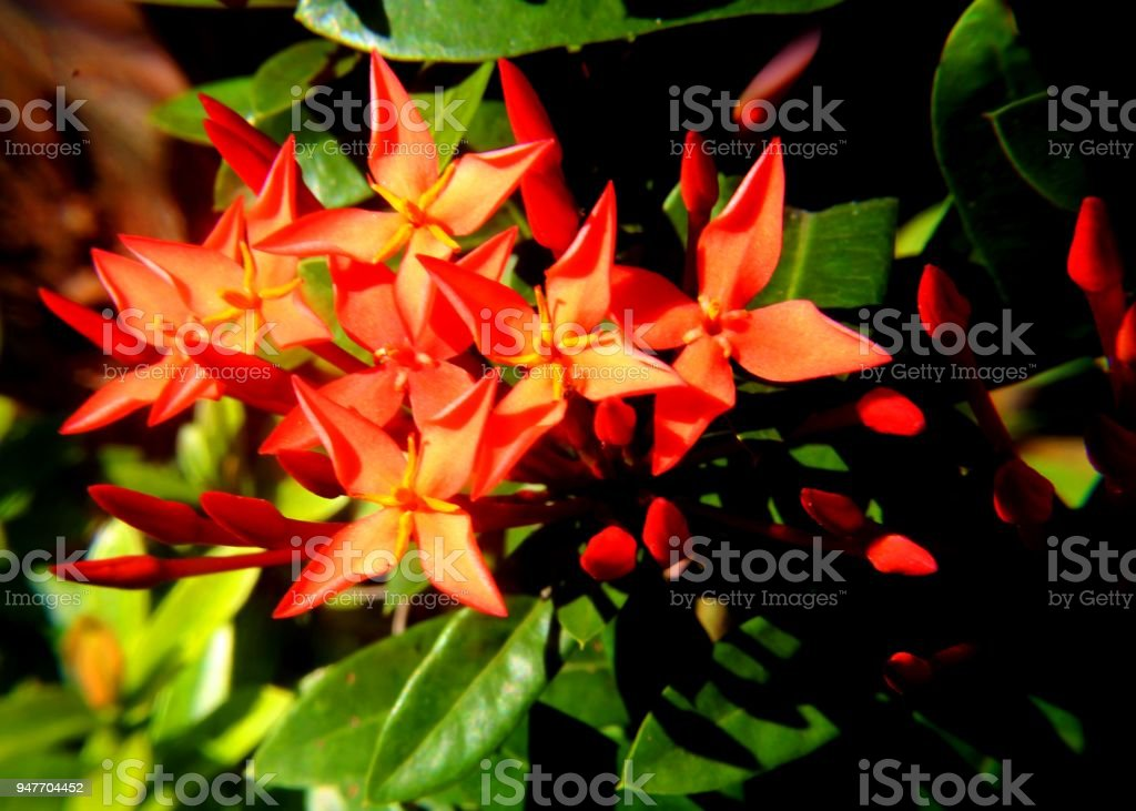Beautiful Red Color Ixora Flower Petal Seen In A Home Garden In