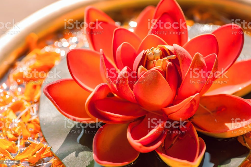 Beautiful red color Nelumbo flower known as Lotus. Sacred plant in Hinduism and Buddhism. stock photo
