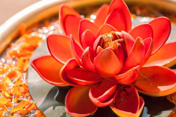 schöne rote farbe nelumbo blume lotus genannt. heilige pflanze im hinduismus und buddhismus. - lotus symbol stock-fotos und bilder