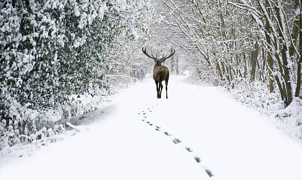 Beautiful red deer stag in snow covered festive season Winter stock photo